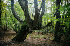 Old tree in the forest. Old elm tree in the autumn forest Stock Photo
