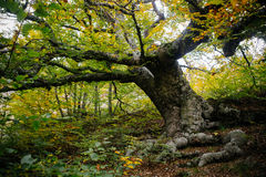 Old tree in the forest. Old elm tree in the autumn forest Royalty Free Stock Photo