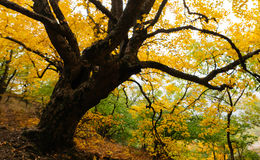 Old tree in the forest. Old elm tree in the autumn forest Royalty Free Stock Image