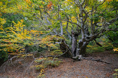 Old tree in the forest. Old elm tree in the autumn forest Royalty Free Stock Images