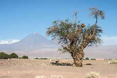 Old tree front of Volcano Licancabur, Atacama Stock Photo