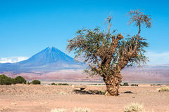 Old tree front of Volcano Licancabur, Atacama Royalty Free Stock Image