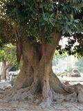 Very old tree royalty free stock photos