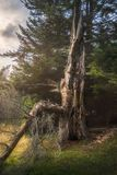 Old Tree in Golden Light. Atmospheric Scenery with Old Tree in Beautifful Golden Light royalty free stock photo