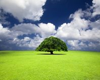 Old tree on the grass. Single old tree on the grass field Royalty Free Stock Photo