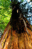 Old tree in green deciduous forest Stock Images