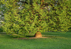 Old tree with green foliage background Stock Photography