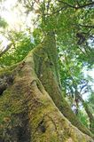 The old tree in a green forest Royalty Free Stock Photo