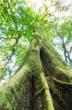 The old tree in a green forest Royalty Free Stock Photography