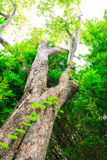 Old tree in a green forest Royalty Free Stock Images