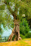 Old tree in a green forest Royalty Free Stock Photos