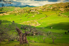 Old tree with green meadow on a background Royalty Free Stock Images