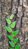 Old tree with green vine on it. Creeper plant growing around tree Royalty Free Stock Photography