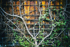 Old tree growing close to the house wall Royalty Free Stock Photos
