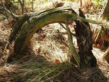 Old tree having interesting form, Lithuania Royalty Free Stock Image
