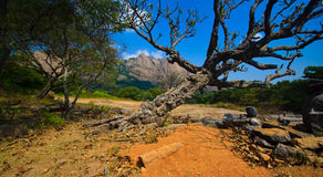 Old tree by the hill. Old dry near the savandurga hill, bangalore stock photo