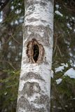 Old tree with holes for birds to live in. And fir Royalty Free Stock Photography