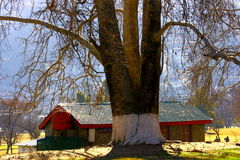 Old Tree and A Hut Royalty Free Stock Image