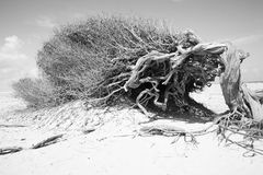 Old Tree of Jericoacoara Royalty Free Stock Photography