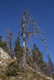 Old tree. In Julian Alps Stock Photography