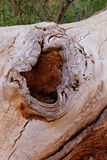 Dead Tree Knot Hole and Worm Trails Royalty Free Stock Photos