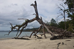 Old tree laying on a tropical beach Royalty Free Stock Images