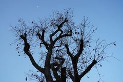 A old tree without leaf and moon in autumn. A barren tree without leaf in autumn in the morning.the sky is blue.the moon is lonely Stock Photography