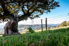 Ancient tree in a field from ground level Stock Photography