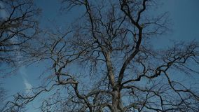 Old Tree without leaves blue sky epic shoot. Epic Tree without leaves nature, tree, branch, illustration, isolated plant silhouette stock footage