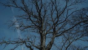 Old Tree without leaves blue sky epic shoot. Epic Tree without leaves nature, tree, branch, illustration, isolated plant silhouette stock video