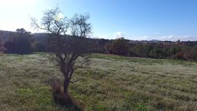 Old tree without leaves in white flowers covered field winter season, Barcelona, Spain stock footage