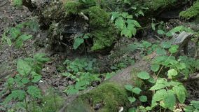 Old tree logs and roots covered with moss and spider webs in forest stock footage