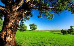 Old Tree in Meadow stock photo