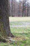 Old tree on a meadow full of crocuses, Saxony, Germany, Europe. Old tree on a meadow full of crocuses in Dresden, Saxony, Germany, Europe Stock Images