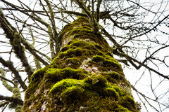 Old tree with moss on the bark Royalty Free Stock Photography