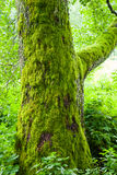 Old tree with moss in forest Royalty Free Stock Photo