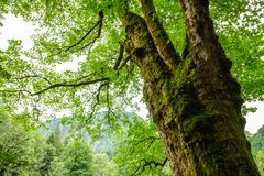 Old tree with moss an gnarled branches and green foliage Stock Image