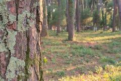 Old tree mossy bark texture Royalty Free Stock Photo