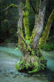 old tree in a mountain stream Royalty Free Stock Photography