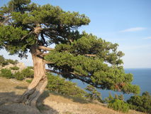 Old tree on Mountains. View of old tree on Mountains and the sea Stock Image