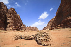 Old tree in mountains of Wadi Rum Royalty Free Stock Image