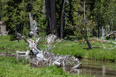 Old Tree on Mt. Lassen Royalty Free Stock Photography
