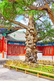 Old tree near Temple of Confucius at Beijing - the second larges Royalty Free Stock Photo