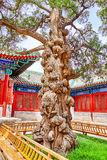 Old tree near Temple of Confucius at Beijing - the second larges Stock Image