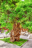 Old tree near Temple of Confucius at Beijing - the second larges Stock Images