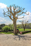 Old Tree, Nespouls, Correze, Limousin, France Royalty Free Stock Photography