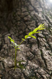 Old tree with new germination Royalty Free Stock Photo