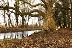 Old tree next to the creek at Lake Balaton Stock Image