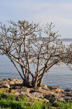 Old Tree Over The Sea Stock Photos