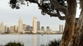Old Tree Peeling Bark San Diego Downtown City Skyline Royalty Free Stock Images